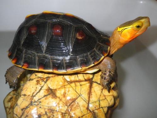 黄缘闭壳龟价格