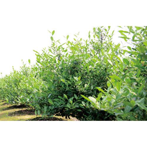 台州茶叶籽树地址在哪里 茗荟 茶叶籽树批发