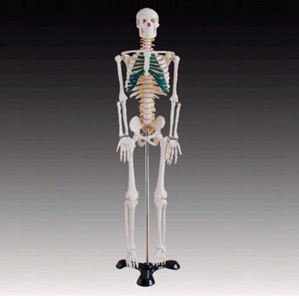 85cm Human Spinal Nerves Skeleton model