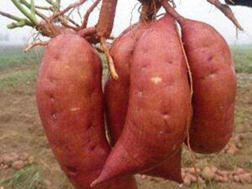 红薯苗薯藤冬眠育苗法 红薯栽培的深耕与垄作