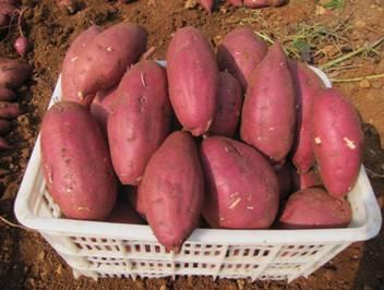 红薯苗供应商