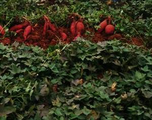 脱毒红薯苗