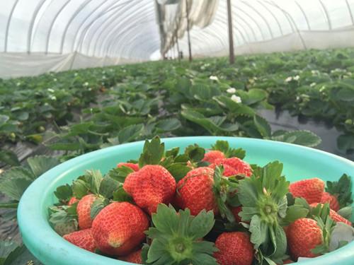 草莓滴灌带