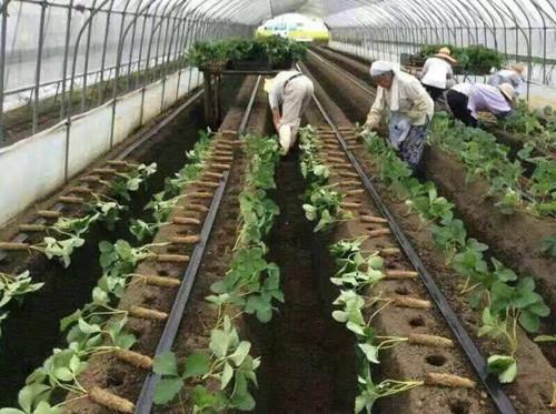 草莓微喷带定植