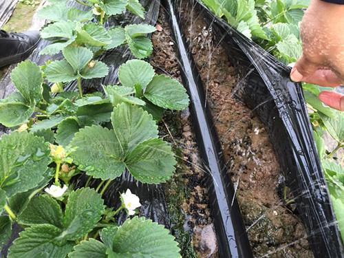 草莓微喷带膜下滴灌