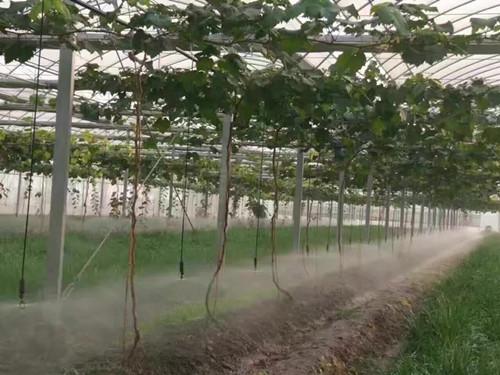 草莓微喷带灌溉