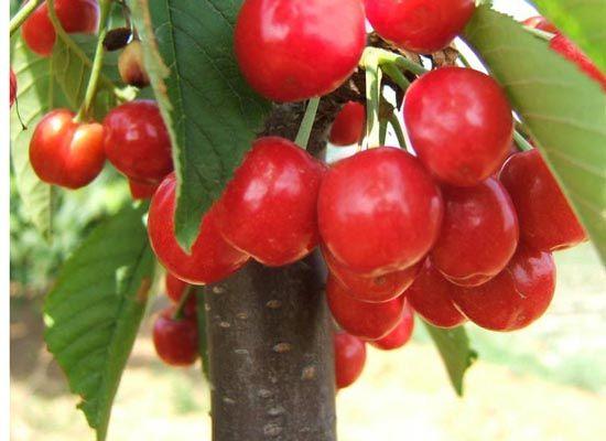矮化大樱桃