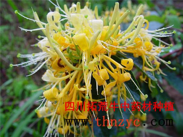 四川金银花种植技术