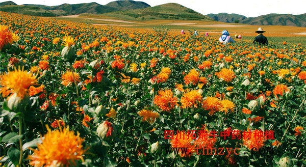 四川红花种植