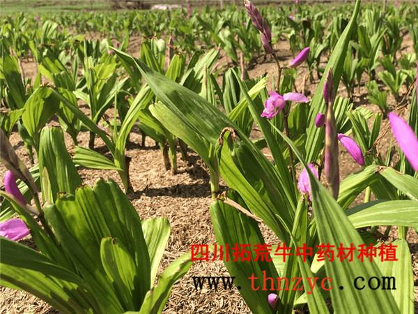 四川白芨种植