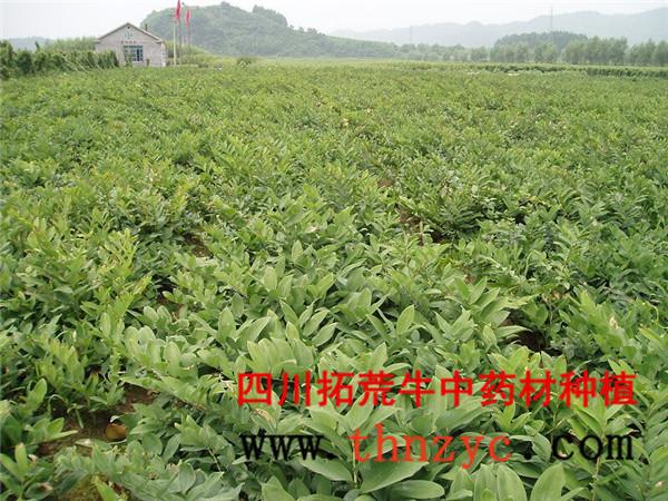 四川黄精种植