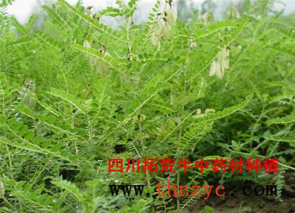 四川黄芪种植