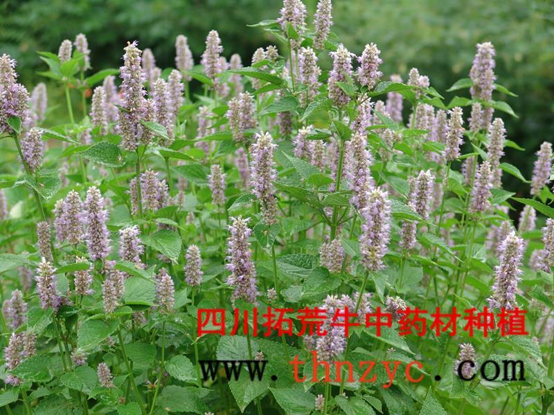 四川藿香种植技术