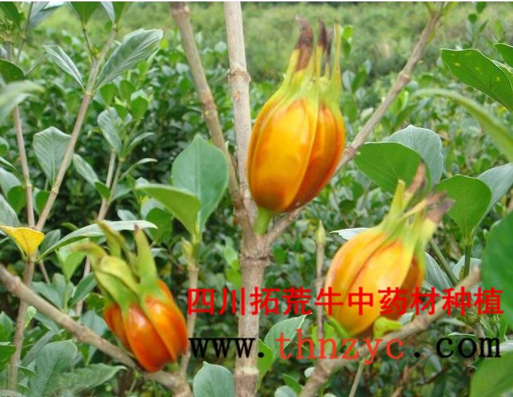 四川黄栀子种植技术