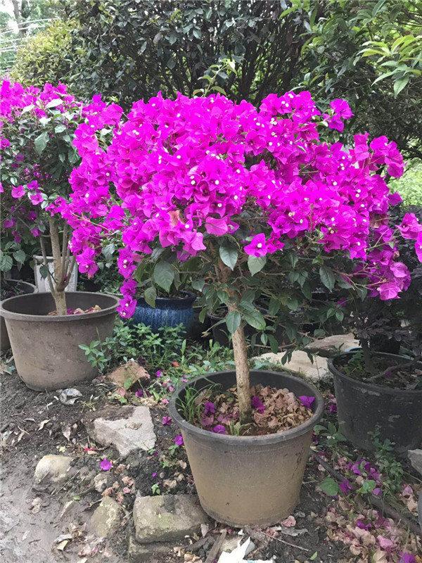 安顺景观植物