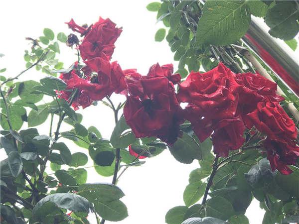 安顺景观植物销售