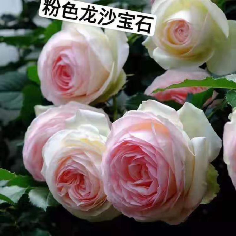 粉色龙沙宝石