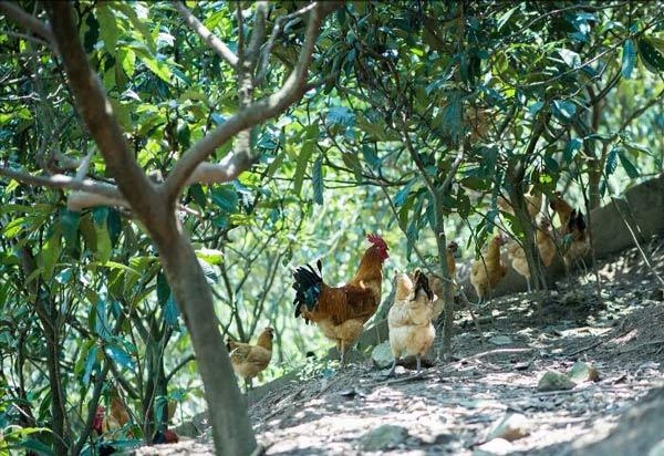 重庆土鸡养殖