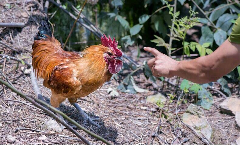 富硒土鸡养殖