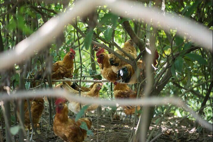 林下散养土鸡采购