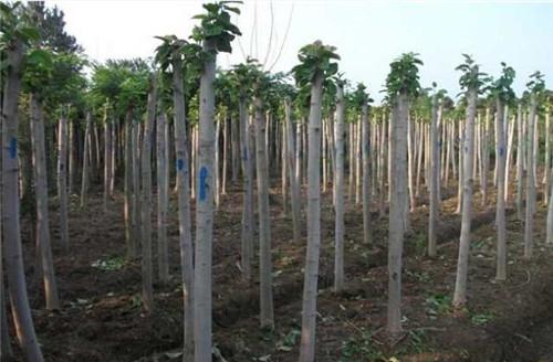 湖北苗木种植