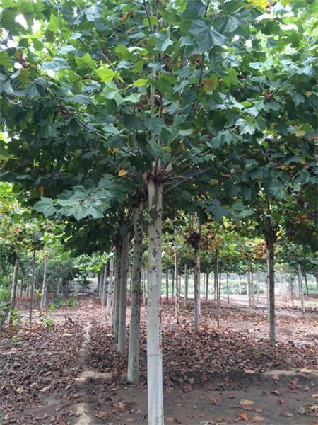 種植綠化苗木