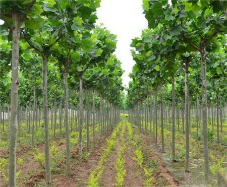 桂花苗种植