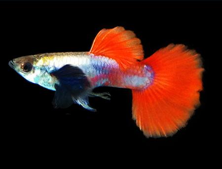 白金红尾孔雀鱼