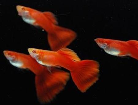 全红孔雀鱼