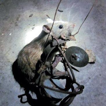 贵阳传统灭鼠