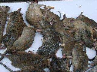贵阳专业灭鼠