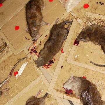 贵阳杀鼠公司