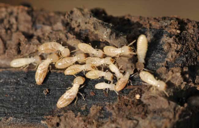 贵州白蚁防治