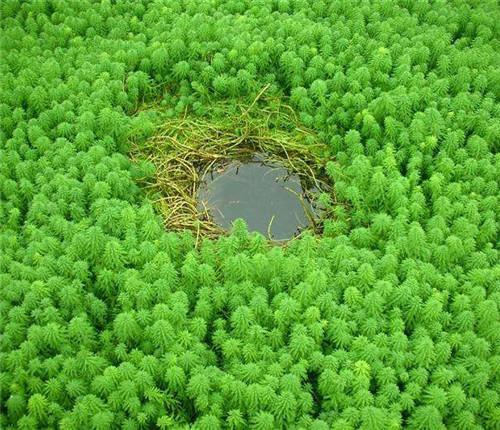 大聚藻批发种植