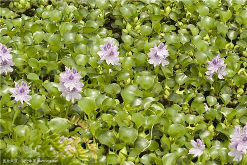 凤眼莲种植