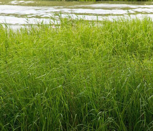 席草批发养殖