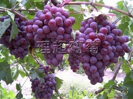 辽宁玫瑰香葡萄