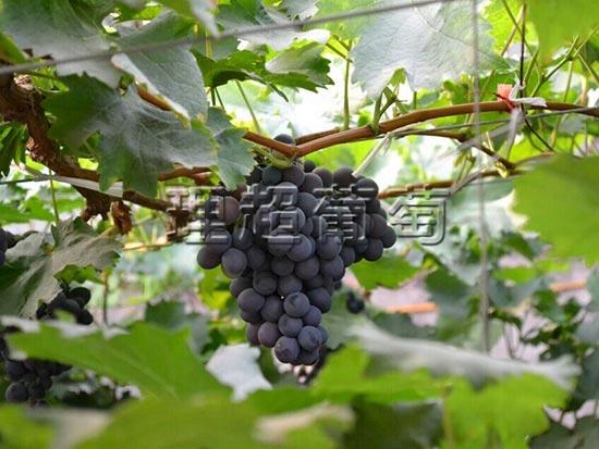 东北玫瑰香葡萄