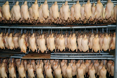 河北烤鸭专用鸭坯价格
