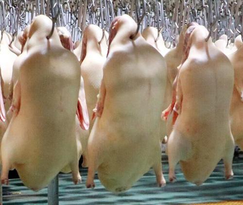 烤鸭专用鸭胚