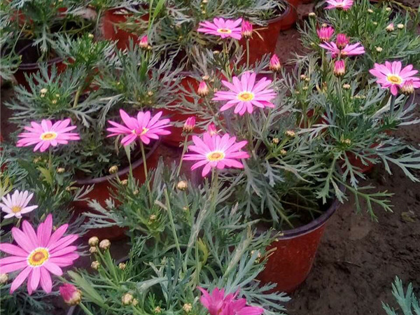 玛格丽特花卉