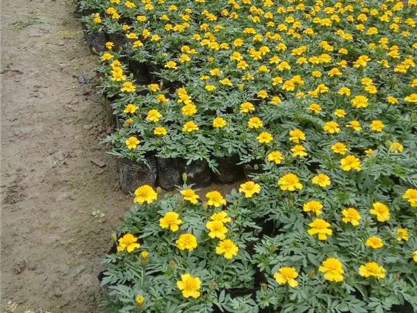 孔雀草花卉