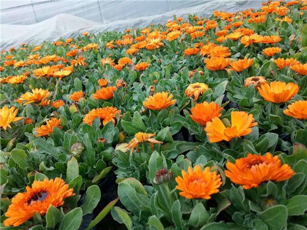 金盏菊花卉