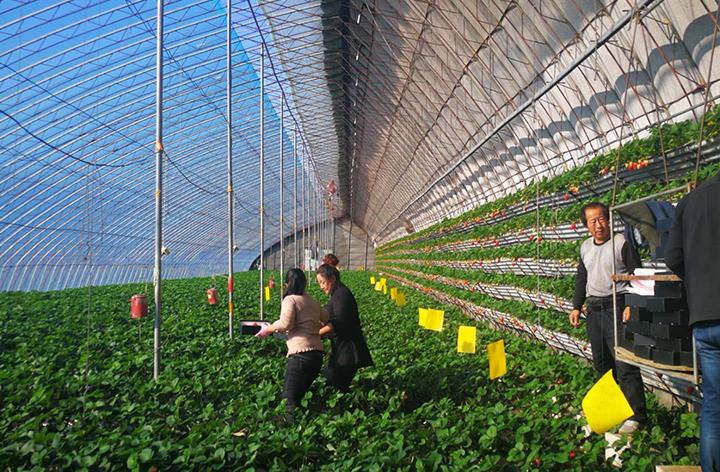 有机草莓种植基地