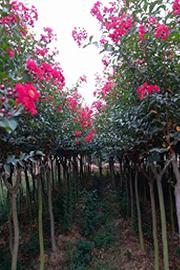 郑州红叶紫薇