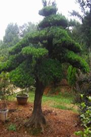 新乡景观造型树