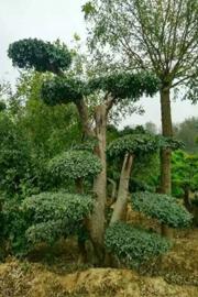 新乡榔榆造型