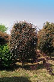 河南河南桂花树