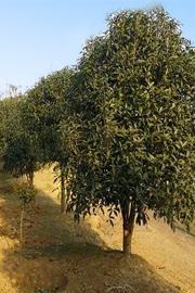 丹桂树价格