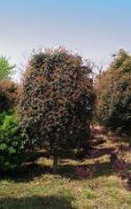 潢川桂花树基地